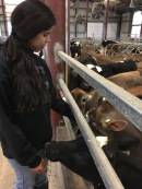 Blacksburg, Va., March 30- Feeding: Senior Enilda Soto works at the Virginia Tech dairy and is going to vet school next year. Photo: Katie Lukens